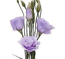 Lavender Lisianthus Flower by wholeblossoms