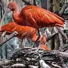 Scarlet Ibis in Springtime  by John44