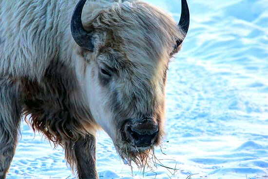Spiritual White Bison by Larry Trupp