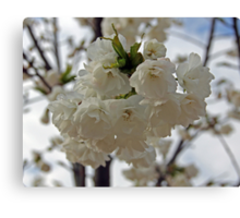 """""""Seattle Cherry Blossoms"""" by Carter L. Shepard Canvas Print"""