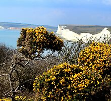 Yellow Broom Bushes & White Chalk Cliffs by karina5