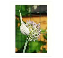 Flowering Allium Art Print