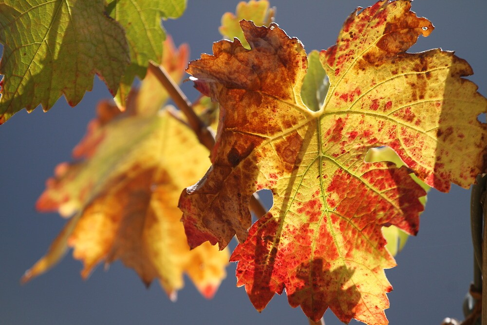 Autumn in the vineyard by Etwin