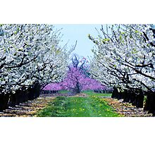 Orchard in Bloom Photographic Print