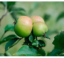 Reddening Apples on a Tree Photographic Print