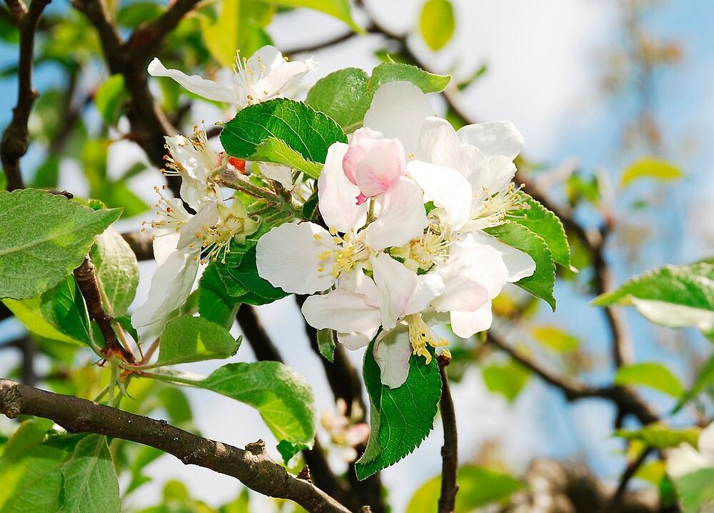 Spring Apple Blossom by jojobob