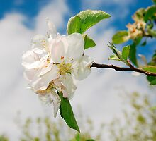Spring Blossom on Apple Tree by jojobob