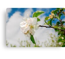 Spring Blossom on Apple Tree Canvas Print