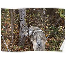 Gray Wolf along forest edge in British Columbia Poster