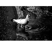 Black & White Dove Hybrid Photographic Print