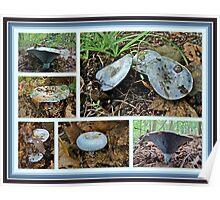 Lactarius Indigo Mushrooms Poster