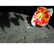 Blooming Tulip Against Rock Photographic Print
