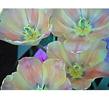 Peach Tulips Bloom Together Photographic Print