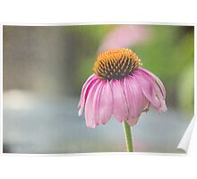 daisy (echinacea) - 1 Poster