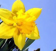 Wild Daffodil* by jvm87