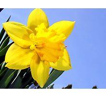 Wild Daffodil* Photographic Print
