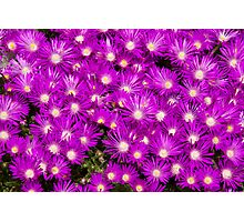Wall to wall purple flowers Photographic Print