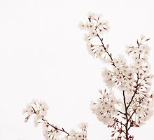 Cherry Blossoms 2 by Melinda Anderson