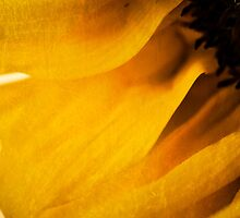 Sunflower by Melinda Anderson