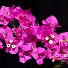Beautiful pink Bougainvillea against black background by Brian D. Campbell