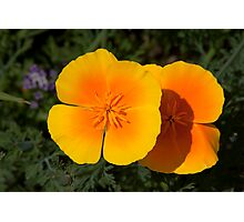 Pair of Golden Poppies Photographic Print
