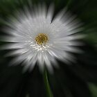 White Gerbera by Karen Duffy