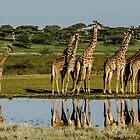Giraffes, South Serengeti, Tanzania by Sue Ratcliffe