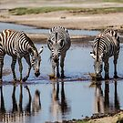 Zebras, South Serengeti, Tanzania by Sue Ratcliffe