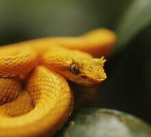 Eyelash Pit Viper, Bothriechis schlegelii by Seth LaGrange