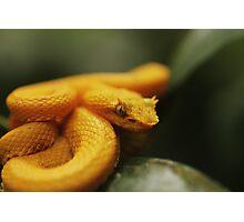 Eyelash Pit Viper, Bothriechis schlegelii Photographic Print