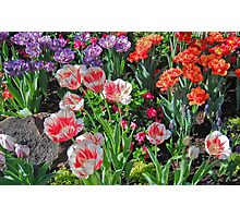 Tulip Rainbow in Bloom Photographic Print