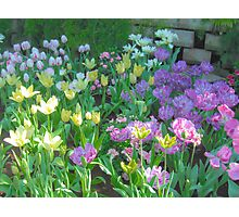 Soft Pastel Tulips in Sun Photographic Print
