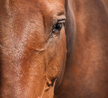 Old Brown Mare by George Davidson