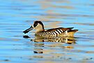 Pink Eared Duck taken Lake Balaka by Alwyn Simple