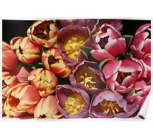 Fresh and colorful tulips Poster