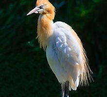 Cattle Egret by Steve Randall