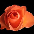 Orange Rose by Sandy1949