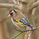 Goldfinch by MikeSquires