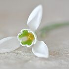 Sleeping Snowdrop by Denise Couturier