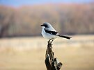 Loggerhead Shrike by BettyEDuncan