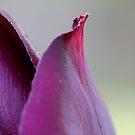 Purple tulip I by Lynn Starner