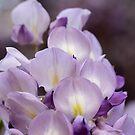 Wisteria bloom by Lynn Starner