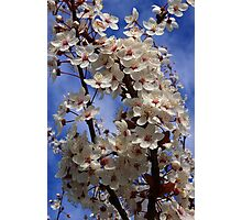 bountiful bough of beautiful blossoms Photographic Print