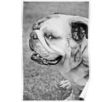 English Bull Dog. Poster