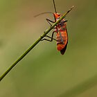Red Cotton Bug by Colin  Ewington