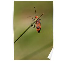 Red Cotton Bug Poster