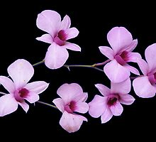 Cooktown orchid by Fred1947
