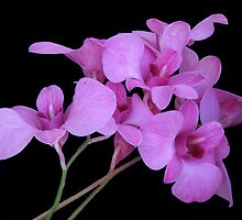 Cooktown Orchid 2 by Fred1947