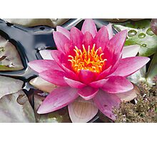 Pink Water Lily with yellow center Photographic Print