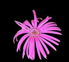 Gerbera 1 by Fred1947